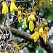 Kowhai Tree Flowering.