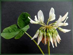 Weiß-Klee (Trifolium repens).