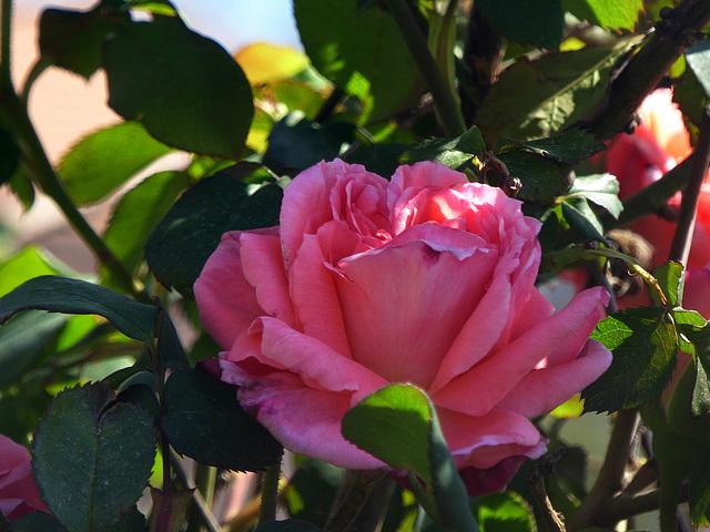rosa rosa ;-)