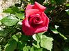 Une rose pour tous...