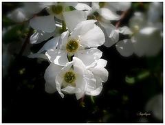 Exochorda macrantha.............Bon we à tous !