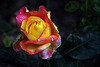 Laval et sa magnifique roseraie .