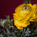 Signs of spring - Ranunculus