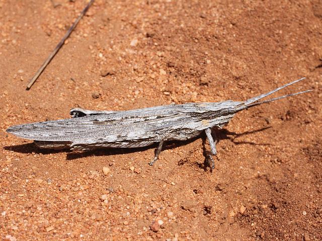 the locust ...