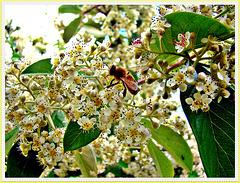 Bee On Kumarahou Blossom.