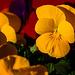 Signs of spring - Viola cornuta