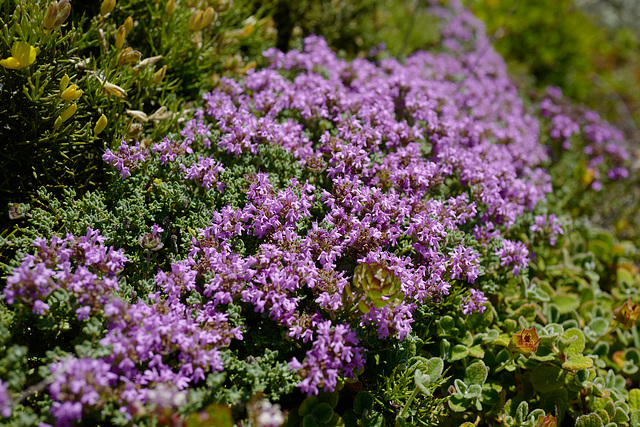 Thymus caespititius, Alpes FR