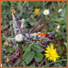 Orange tip butterfly.  Anthocharis cardamines