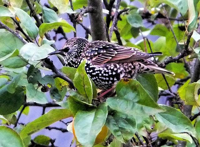 Durchreisender Star im Apfelbaum. (Sturnus vulgaris) Transient starling in an Apple tree. ©UdoSm