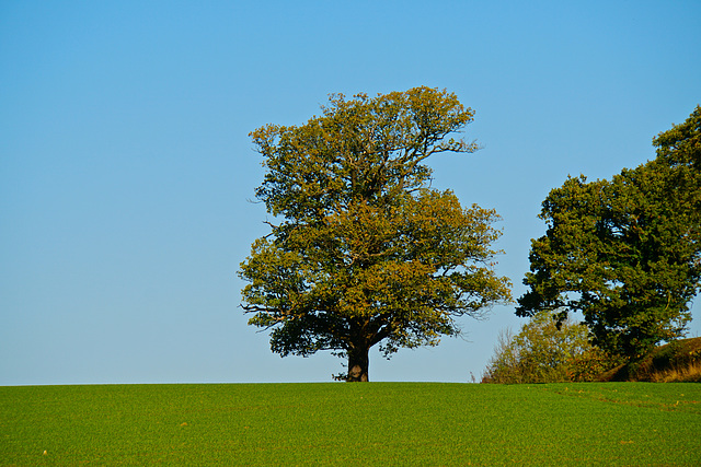 Lone Tree at Beech