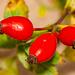 46/2018 (MM 2.0 Nr.74) fruit - Hagebutte - rose hip