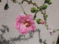 Douceur rose de ma Fabienne