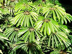 Pflanzen. (Schefflera actinophylla). ©UdoSm