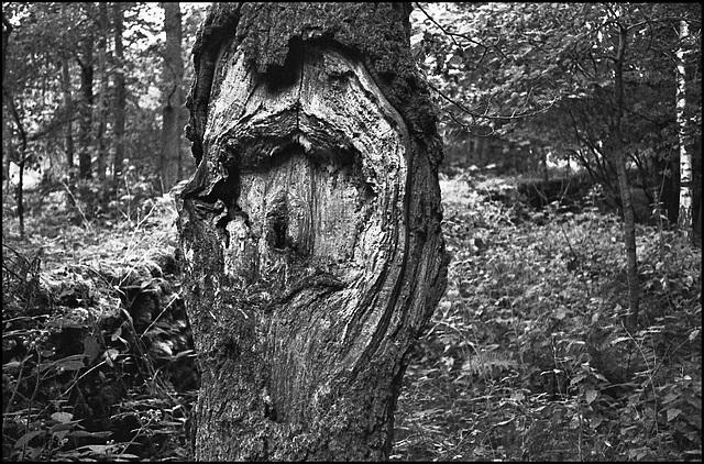 Tree trunk, Skipton Woods.