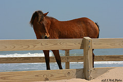Wild Assateague Pony, in a passageway over the sand dunes ...  HFF ...
