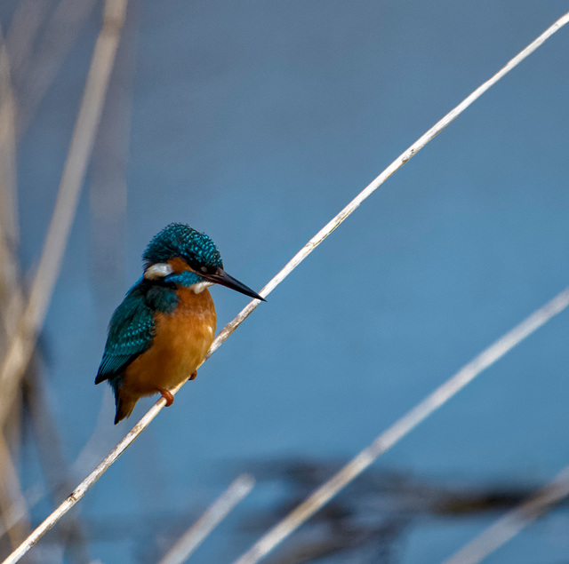 Kingfisher5