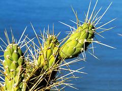 Kaktus. ©UdoSm