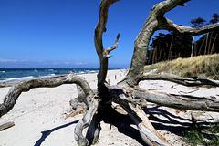 Windflüchter am Darßer Strand...