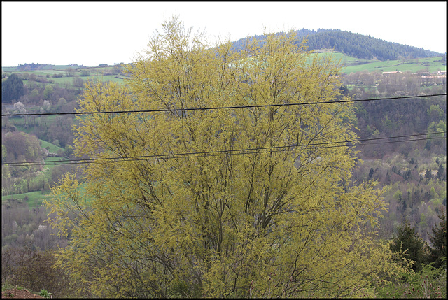 Salix sp