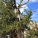 Great Basin Bristlecone Pine