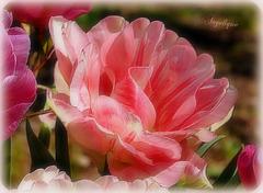 Tulipe .............belle journée à tous !