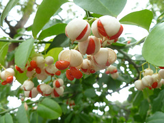 fruit and seed