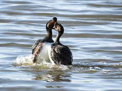 Eared Grebes in their mating dance