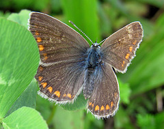 Modraszek ikar - Polyommatus icarus - female