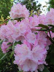 Rhododrendron in Rosé