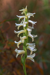 Spiranthes magnicamporum (Great Plains Ladies'-tresses orchid)