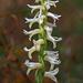 Spiranthes magnicamporum (Great Plains Ladies'-tresses orchid)