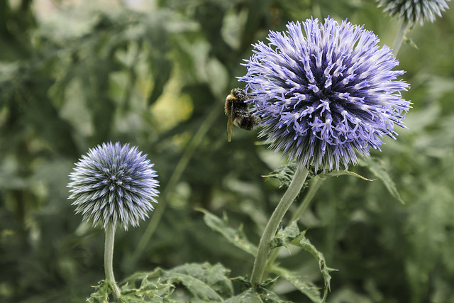 Globe thistle and bee