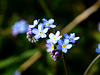 Vergissmeinnicht / Forget-me-not