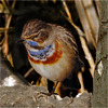 Portrait white-spotted bluethroat (2)