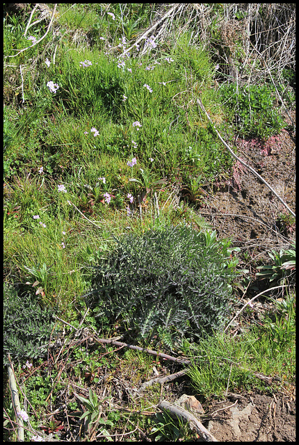 Cirsium palustre (2)
