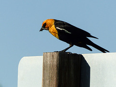 Yellow-headed Blackbird with damselfly