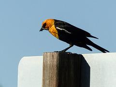 Yellow-headed Blackbird with damselfly