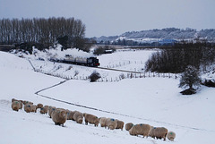 Sheep, snow, and fences!  HFF!