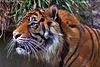 Sumatran Tiger 077 copy