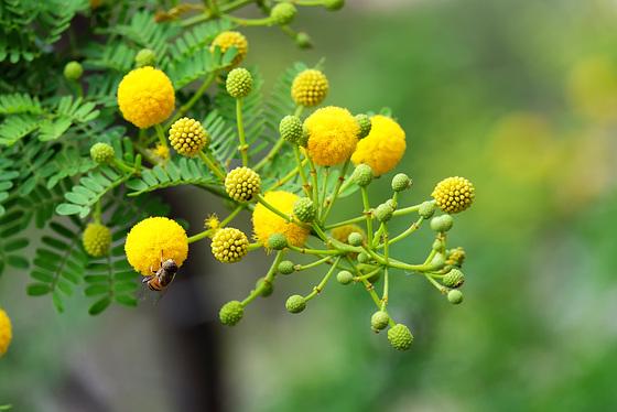 MONACO: Mimosa des quatre saisons ou Mimosa d'été (Acacia retinodes Schltr.) 03
