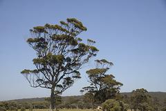 Tall trees Wind blown