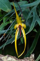 Bulbophyllum 'Wilbur Chang'