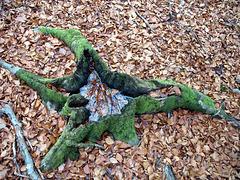 6 Souche-miroir forêt de Fontainebleau