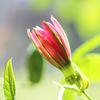 Passiflora 'Coral Sea'