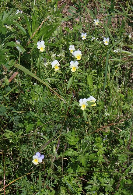Viola tricolor - Pensée tricolore