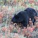 Black Bear on a distant hillside