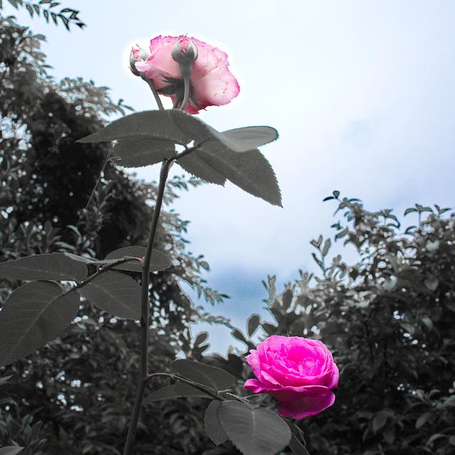 Rose 50 + 4 : Loverman
