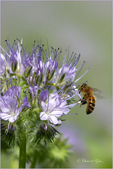 Phacelia (Phacelia tanacetifolia) with a little bee. It's so delicious to eat the candy ...