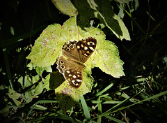Speckled Wood butterfly.)
