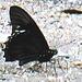 62 Battus polydamas (Gold Rim Swallowtail)